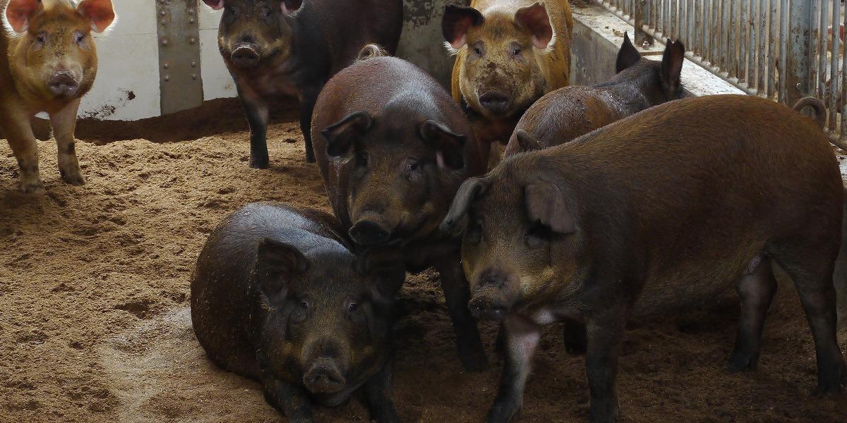 イノブタ・デュロック豚画像
